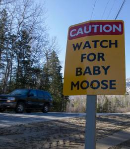 Watch for baby moose!